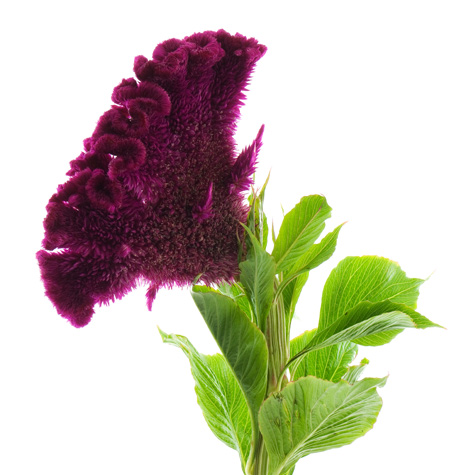Cockscomb
