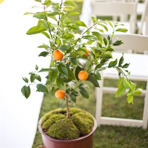 Orange Tree Wedding Ceremony Decor