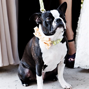 Puppy Ringbearer