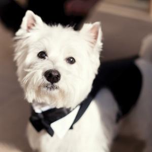 Dapper Doggy Tuxedo