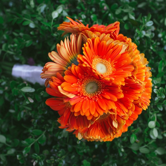 Orange gerbera daisies made a bright bridal bouquet.