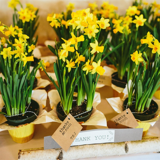 Guests received planted yellow daffodils as wedding favors.